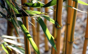 health benefits of bamboo extract
