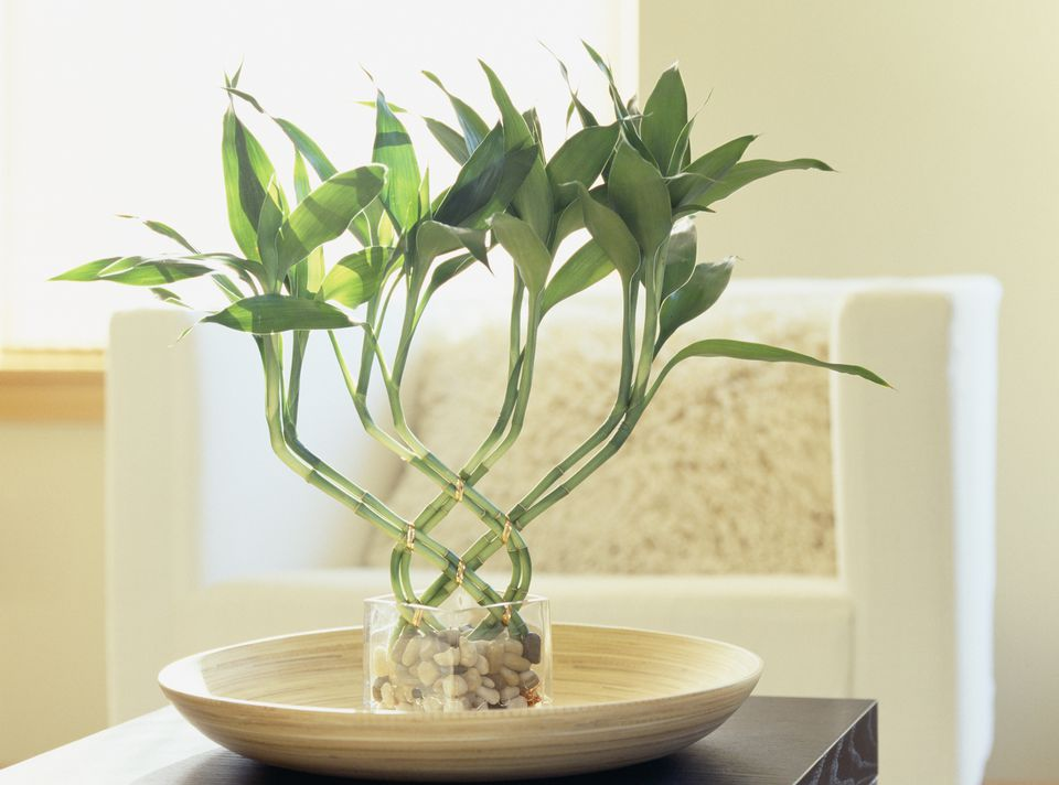 where to put lucky bamboo in home