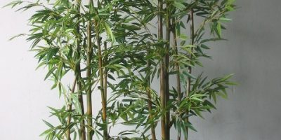 best bamboo to grow in pots